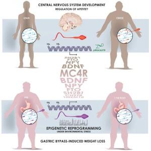 El gráfico muestra cómo el espematozoide de un hombre obeso tiene unas marcas 'epigenéticas' distintas a la de uno delgado, tras someterse a un 'baypass' gástrico, especialmente en los genes que controlan el desarrollo y la función del cerebro