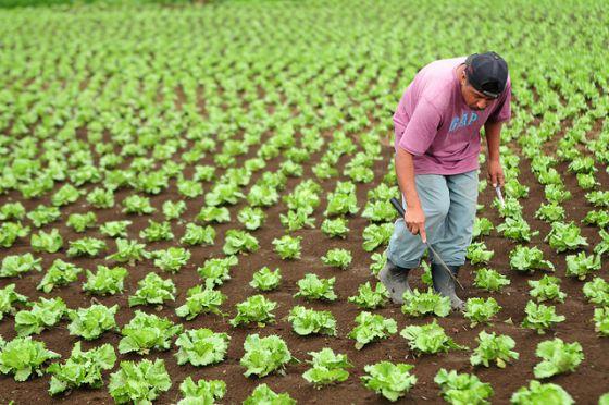 Un agricultor trabaja en su plantación en Guatemala.