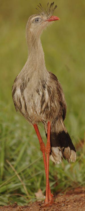 La seriama (Cariama cristata) pertenece a unos de los linajes más antiguos y procede de Sudamérica.