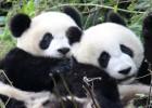 Lo mejor para el futuro de los pandas es que les dejen ligar por su cuenta