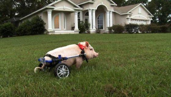 El cerdo 'Chris P. Bacon', cuyas patas traseras están atrofiadas desde su nacimiento, es uno de los protagonistas del documental 'My bionic pet' de la PBS.