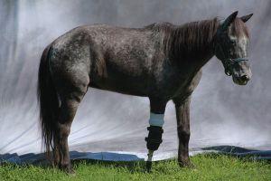 'Molly', un pony al que le faltaba una pata.