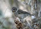Los pájaros que inspiraron la teoría de la evolución podrían extinguirse