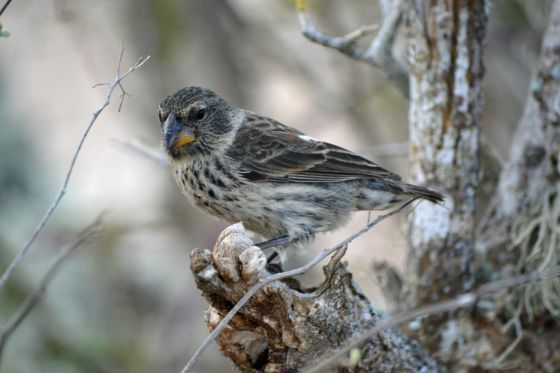 Una de las al menos 14 especies de pinzón que se pueden encontrar en las islas Galápagos (Ecuador)