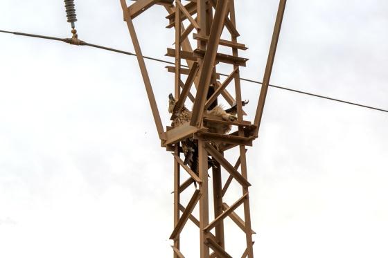 Águila imperial ibérica electrocutada en la región de Guelmim (Marruecos).