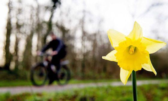 Un narciso en Heilo, Países Bajos.