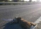 Las carreteras dan una mínima tregua al lince ibérico