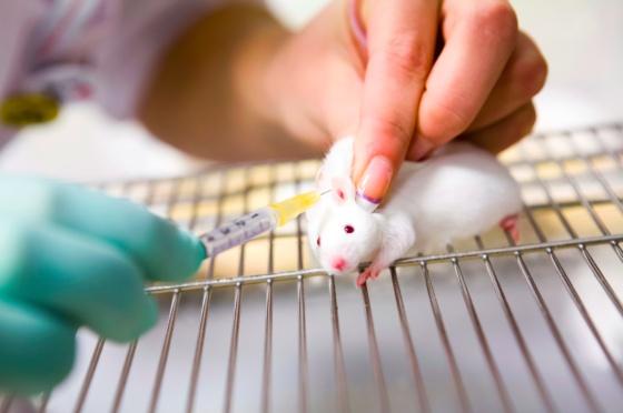 Los ratones son los animales más empleados en investigación biomédica.