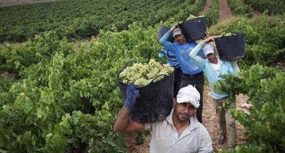 Vendimiadores en Aldeanueva de Ebro (La Rioja)