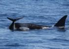 Las orcas 'gaditanas' solo sobreviven gracias a la picaresca