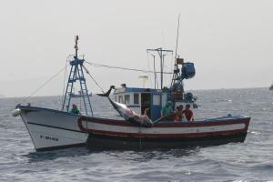 Un atún con un bocado en el cuerpo tras ser atacado por una orca mientras lo pescaban.