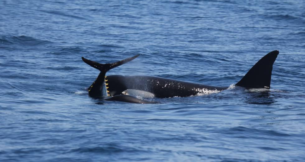 Una orca con una pieza de atún.