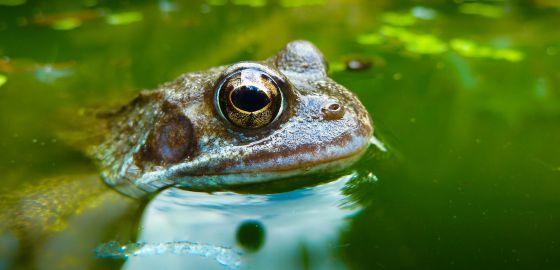 Las ranas Hylodes japi tienen un sistema de comunicación