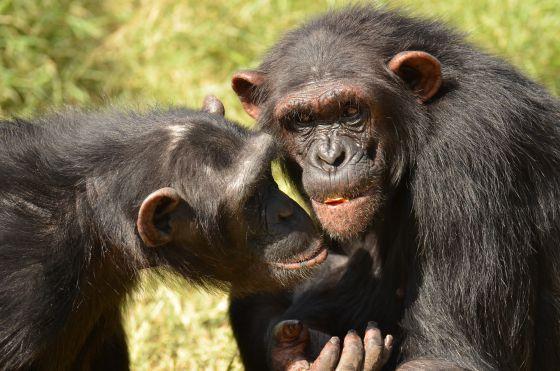 Dos de los chimpancés amigos del estudio