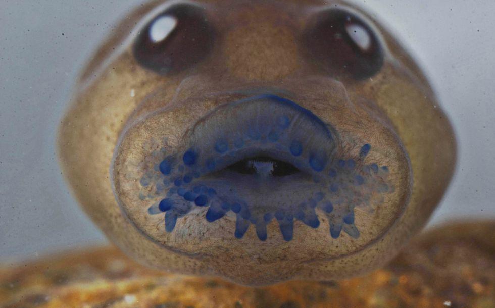 Un renacuajo de la rana Frankixalus Jerdonii, que pertenece a un género recién descubierto.