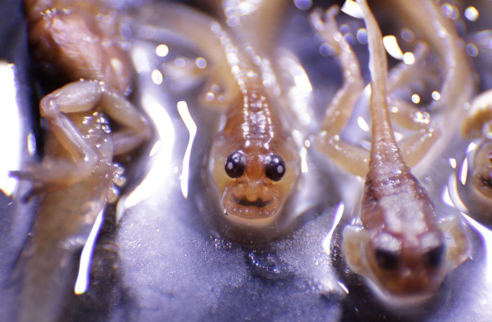 Los renacuajos de la rana Frankixalus descubierta en India.