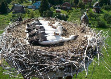 Cuatro de las cigüeñas rastreadas, con GPS y sensores de movimiento, en un nido en Rusia.