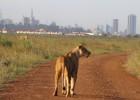 La agonía del parque nacional de Nairobi