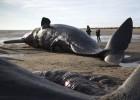 Cuatro cachalotes aparecen muertos en costas británicas