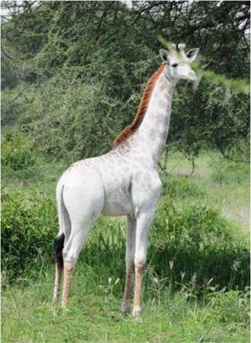 Omo, una jirafa blanca en el parque Nacional de Tanrangire, en Tanzania