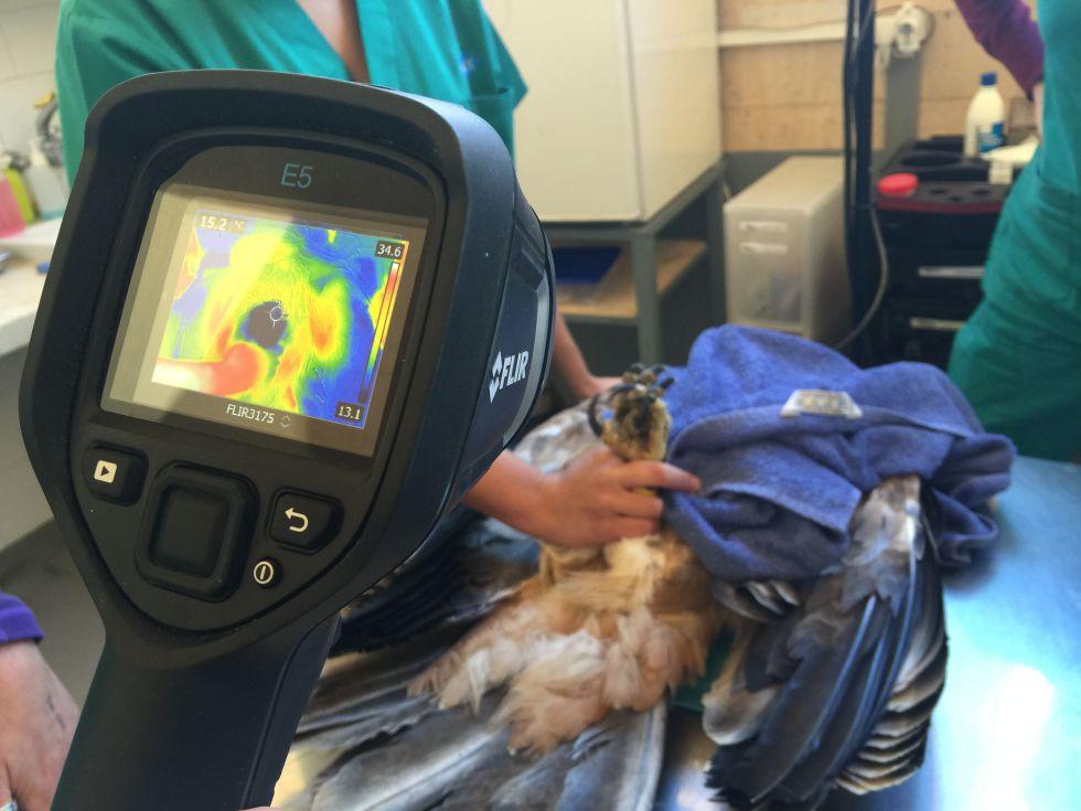 Comprobación térmica a un águila imperial en el hospital de fauna de GREFA para saber si está electrocutada.