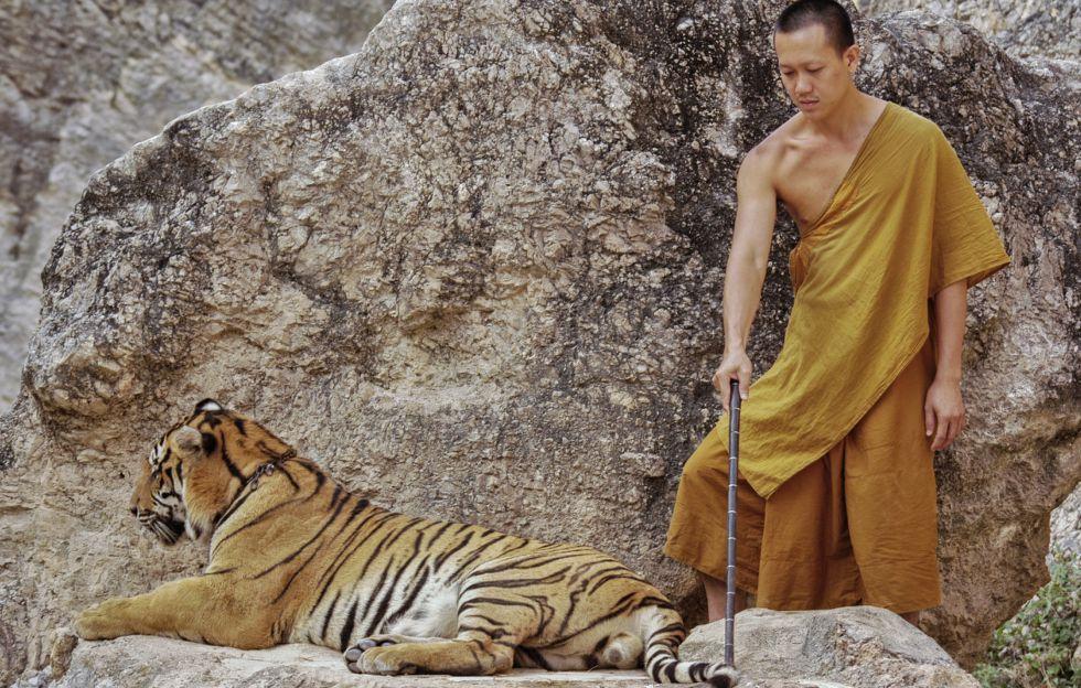 Uno de los monjes del Templo de los Tigres utiliza un palo para poner al animal encadenado en la mejor posición para ser fotografiado.