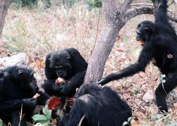 El primer 'asesinato' entre orangutanes