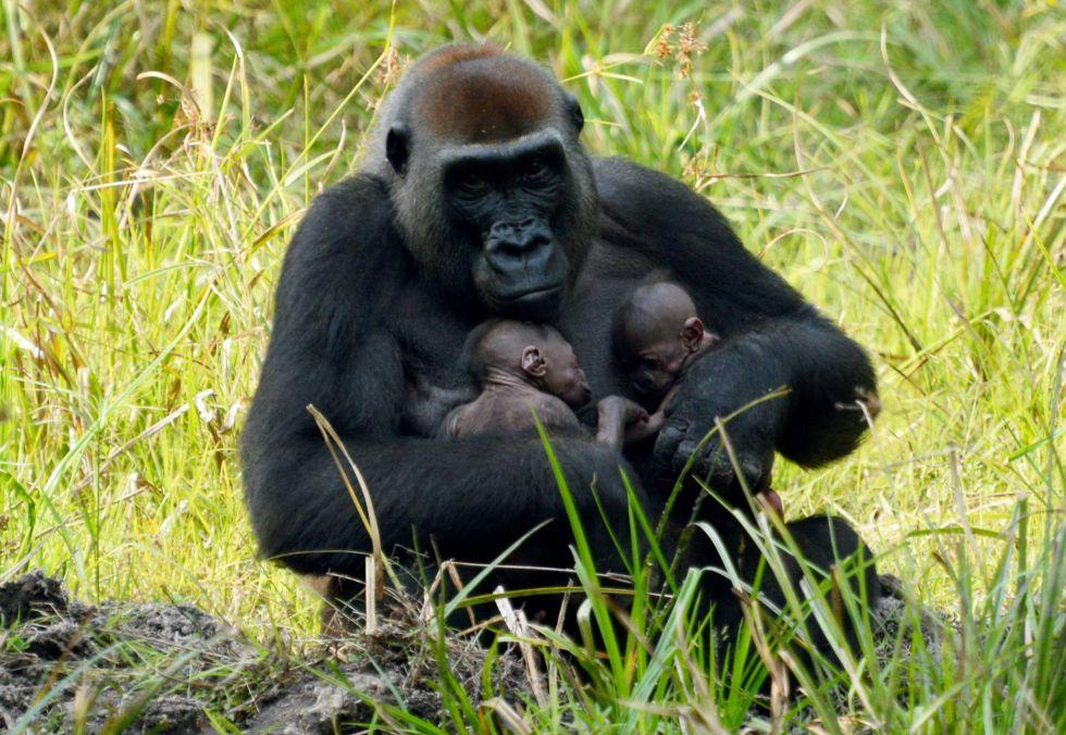 Nacimiento de unos gemelos de gorila