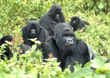 El nacimiento de unos gemelos de gorila, una pequeña esperanza para la especie