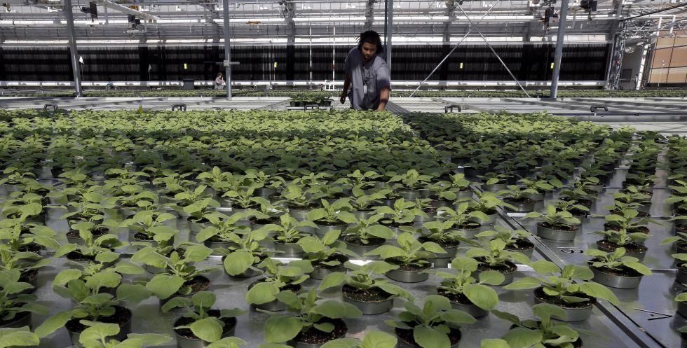 Plantación de tabaco en un invernadero de biotecnología en Carolina del Norte ( EEUU).