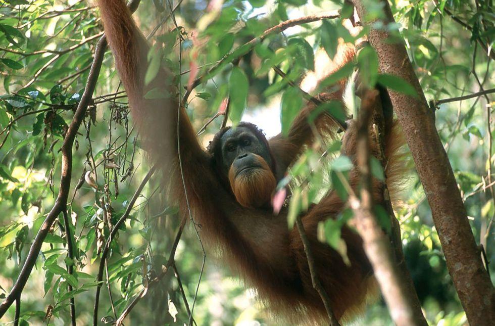 Uno de los orangutanes observados durante el censo.