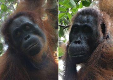 ¿Dónde se escondían 7.000 orangutanes?