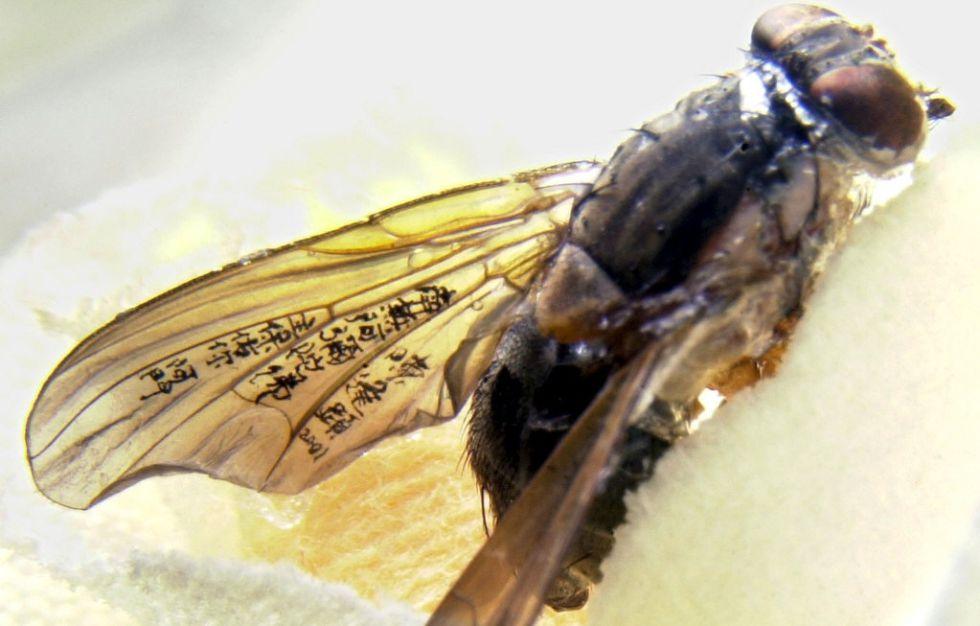 Una mosca con las alas pintadas por el artista chino Chen Frong-shean.