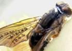 Moscas con alas de hada que superan a la madre naturaleza