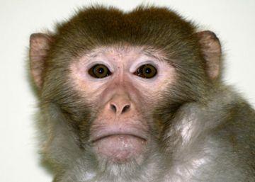Estos monos mueven sillas de ruedas con su mente