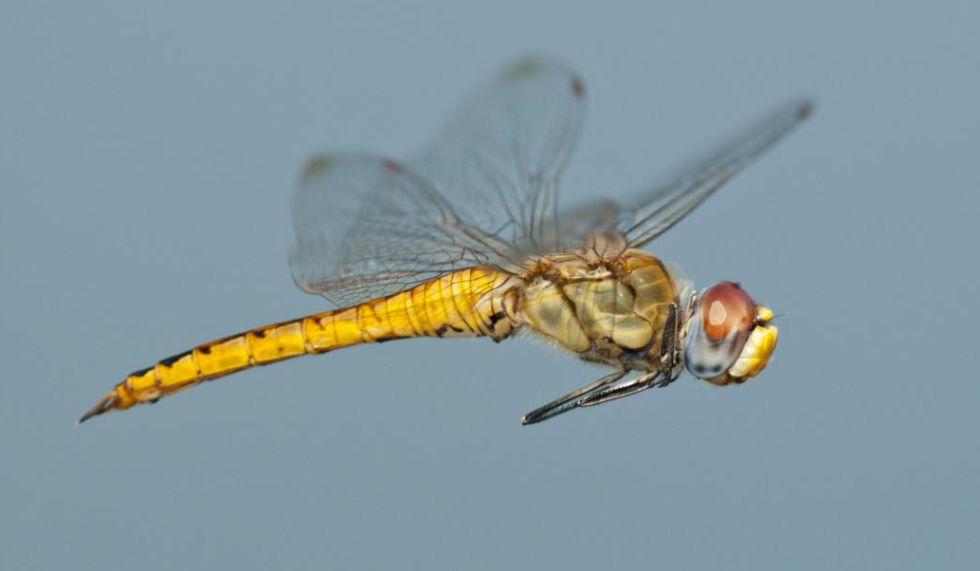 Ejemplar de la libélula Pantala, el insecto que recorre la distancia más larga.