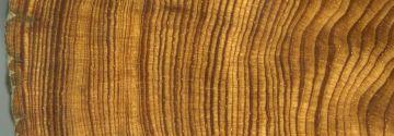 Sección de un pino ellioti de los Cayos de Florida. Los anillos más estrechos se corresponden con años de huracanes.