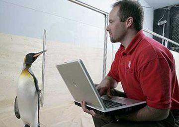 Un pingüino nada 8.000 km cada año para encontrarse con su salvador