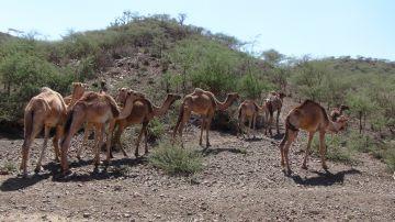 La delgadez de estos camellos ilustra los efectos de la sequía sobre los animales en el este de Etiopía.