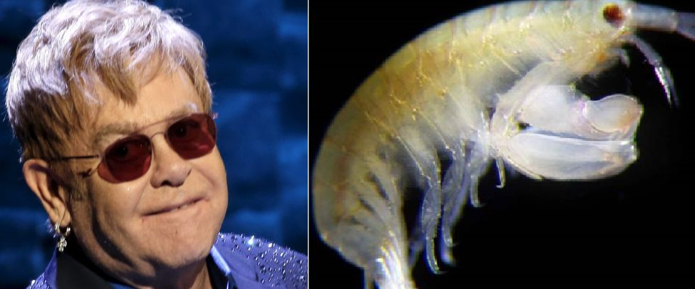 Elton John y el crustáceo Leucothoe eltoni.