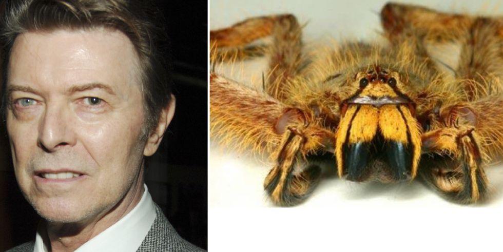 David Bowie y la araña Heteropoda davidbowie.