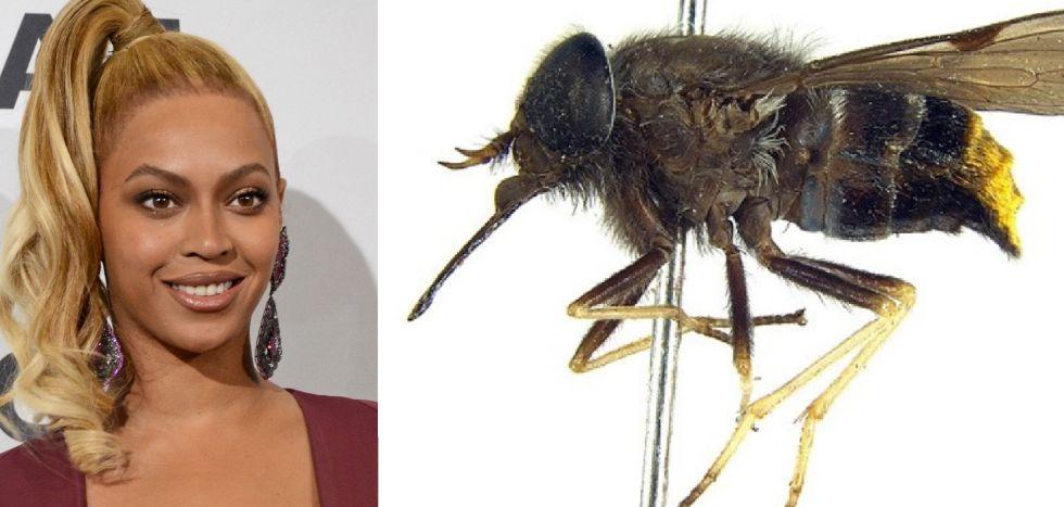Beyoncé y la mosca Scaptia Plinthina beyonceae