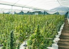 La mayor granja de marihuana de América Latina
