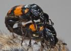 Cómo ser un buen padre: la estrategia de la escarabaja