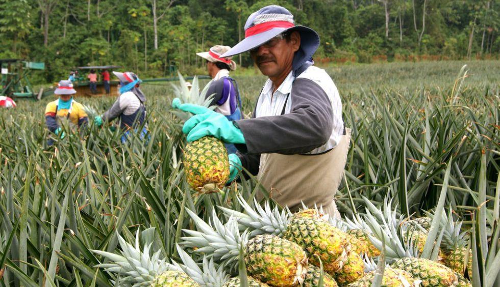 Un grupo de trabajadores recogen piñas en un cultivo en Costa Rica.