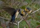 Cuando escasea la comida, las aves ignoran los lamentos de las crías más débiles