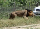 Un león extraviado ataca a un hombre en Kenia
