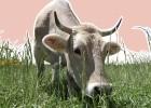 ¿Su filete está duro? Échele la culpa al estrés de la vaca