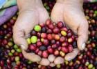 Un año difícil para el café peruano
