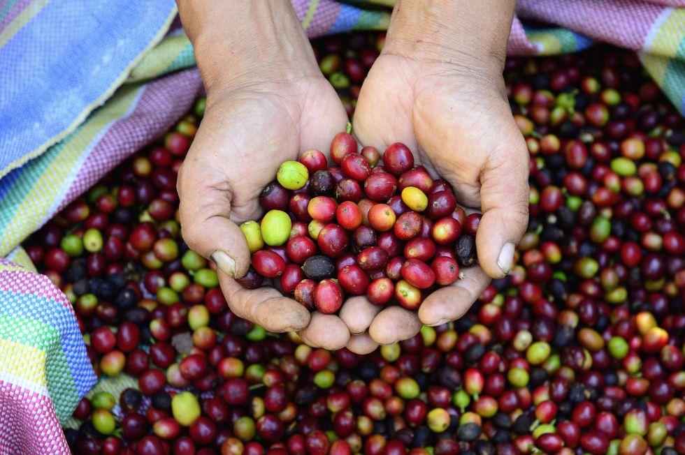 Semillas de café en Perú.